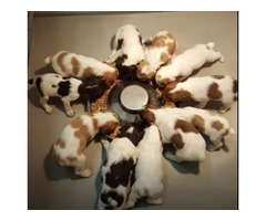 Dogwood Brittanys (Brittany Puppies)