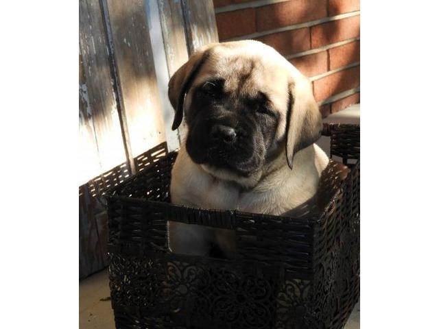 Layla English Mastiff Puppy For Sale Animals Lebanon