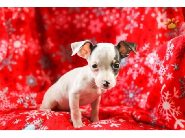 Leo Rat Terrier Puppy For Sale Animals Philadelphia
