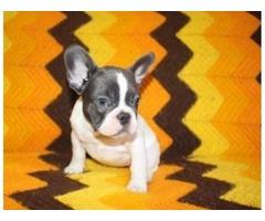 Adorable Outstanding French Bulldog
