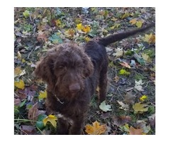 Labradoodle Puppy for Sale (17 Weeks)