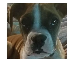 Boxer Puppy for Sale (15 Weeks)