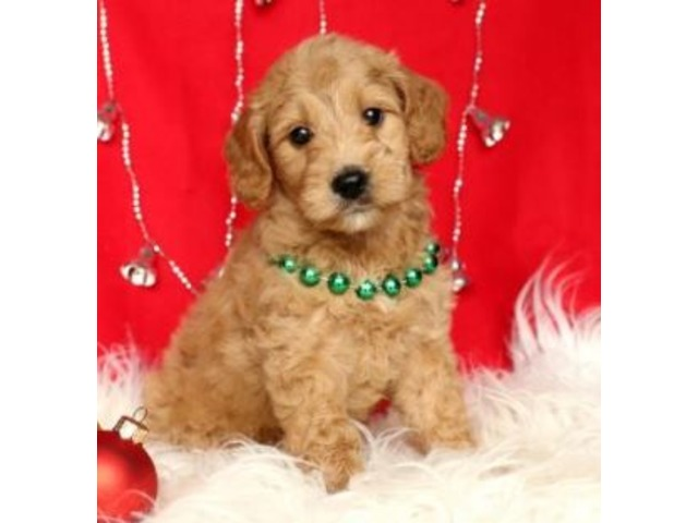 Ginger Mini Goldendoodle Puppy For Sale Animals Hershey