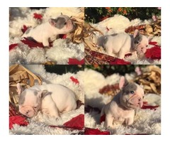 Daisy - French Bulldog Puppy for Sale