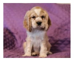 Chase - Cocker Spaniel Puppy for Sale