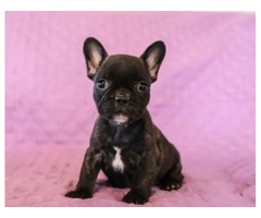 Saphire - French Bulldog Puppy for Sale