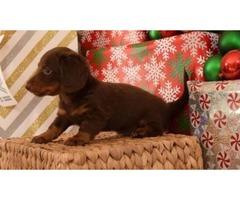 Jet - Dachshund Mini Puppy for Sale