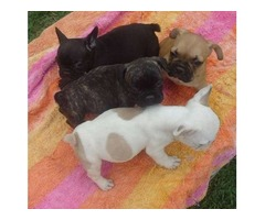 Adorable AKC Reg French Bulldog Puppies for Sale!