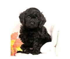 Blaine - Cavapoo Puppy for Sale