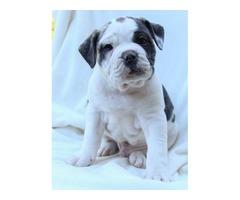 Benji - Olde English Bulldogges Puppy