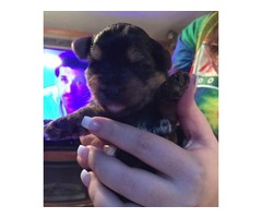 Sugar/Fluffy Baby Girl - Yorkshire Terrier Puppy for Sale