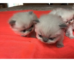 New litter of Himalayan kittens born October 11th