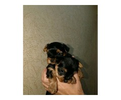 Gorgeous AKC Free Teacup Yorkie puppies ready now Adoption