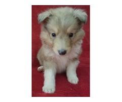 Female German Shepherd puppies - Animals - Brooklyn - New York