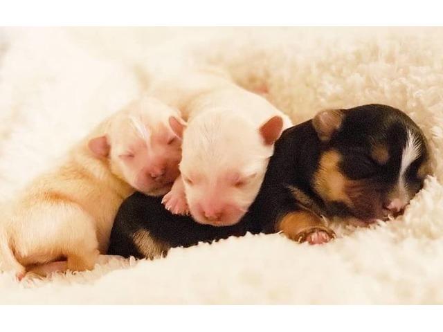 TinyToyMorkiePuppies