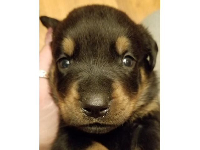 Goblin Rottweiler Puppy For Sale Animals Ford City
