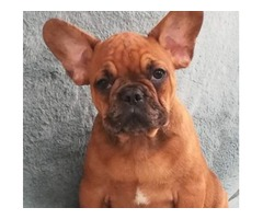 French Bulldog Puppy for Sale (13 Weeks)