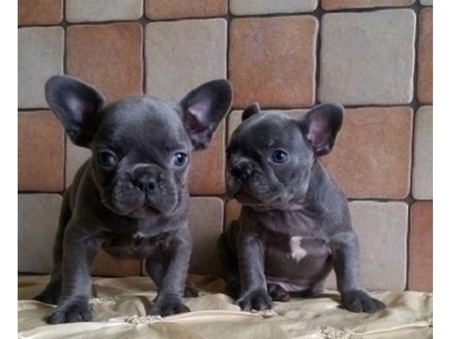 FullAKCregisteredFrenchBulldogpuppies