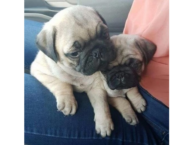 Gorgeous Pug Puppies Available Animals New York City New York