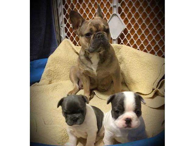 Purebred Akc Reg French Bulldog Puppies For Sale Animals