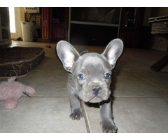 Blue Purebred Akc Registered frenchie puppies for sale