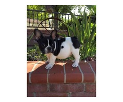 Home raised Akc French Bulldog Puppies for sale