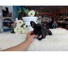 Adorable Akc French Bulldog Puppies available for sale