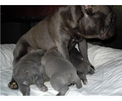 Chocolate Home raised Akc French Bulldog Puppies for sale | free-classifieds-usa.com