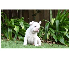 11 weeks Akc French Bulldog Puppies for sale or Adoption | free-classifieds-usa.com