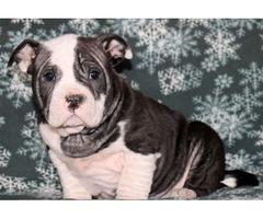 Grant - American Bulldog Mix Puppy