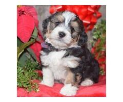 BJ - Mini Bernedoodle Puppy