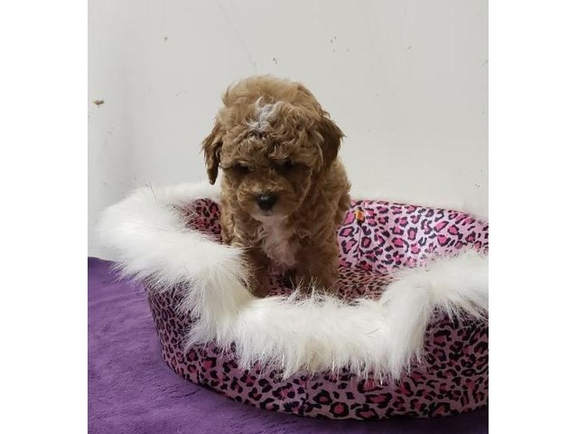 Mimi Poodle Toy Puppy For Sale Animals Hellertown