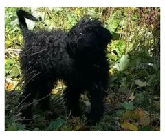 Labradoodle Puppy for Sale (4 Months)