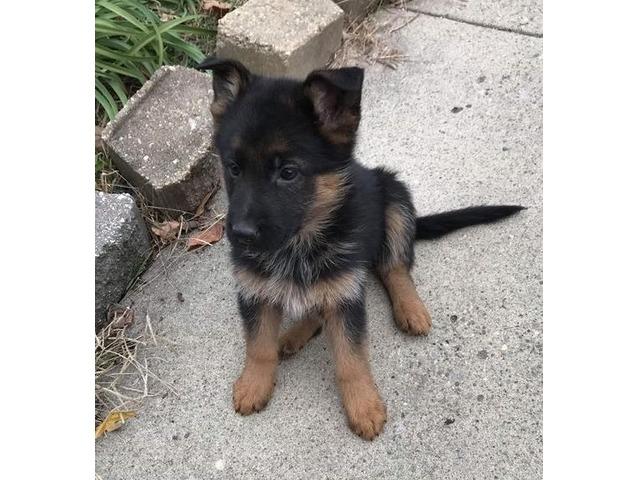 German Shepherd Puppy Animals Chicago Illinois Announcement