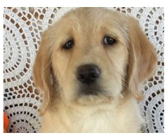 Labradoodle Puppy for Sale (13 Weeks)