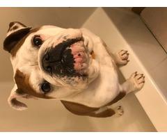 English Bulldog Bella | free-classifieds-usa.com