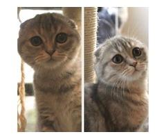 Scottish Fold and Straight kittens