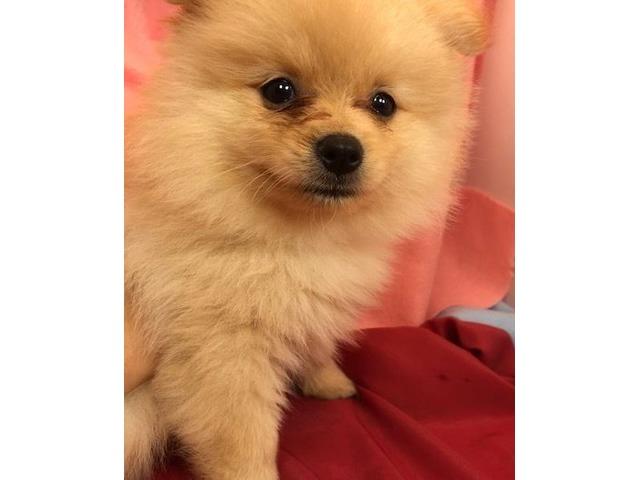 PomeranianPuppyforSale