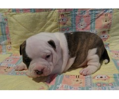 Americans Bully Pups 7 weeks old