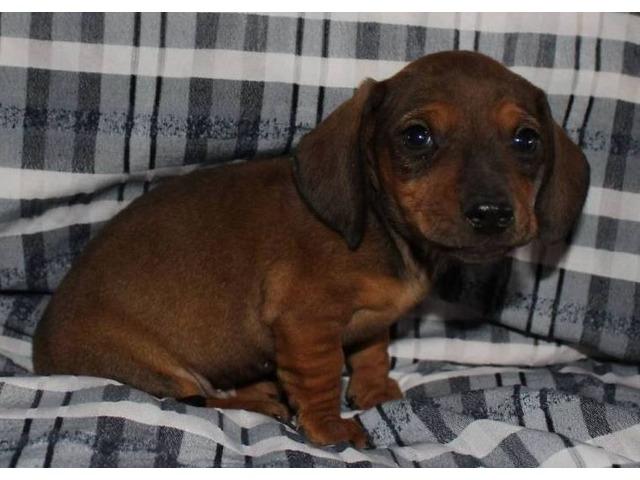 Dachshund Puppies Animals Little Falls New York Announcement