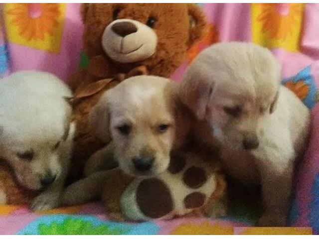 Lab Puppies Animals Fort Plain New York Announcement 134193