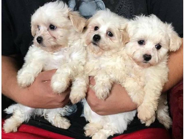 Maltese Shih Tzu Mix Pups Animals Harford New York