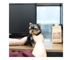 Companion Yorkie Puppies For Sale.