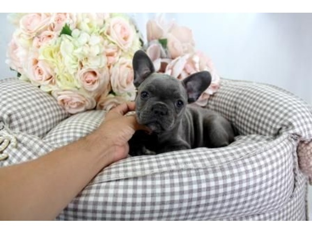 Potty Trained Purebred French Bulldog Puppies For Sale