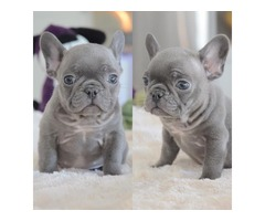 Home Raised Purebred Akc French Bulldog Puppies Available For Sale