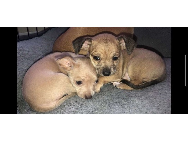 Chihuahua Puppies Low Price Animals Chicago Illinois