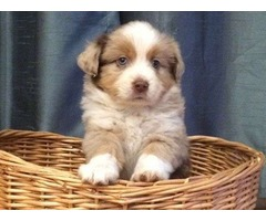 Mixed Mini Australian Shepherd | free-classifieds-usa.com
