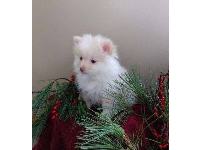 Akc Pomeranian Puppies Animals Chicago Illinois Announcement