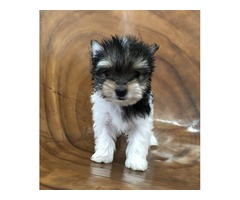 Teacup Parti Yorkie, Male