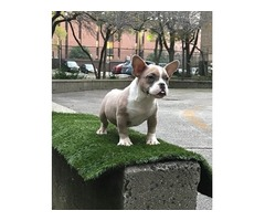 American bully female for sale